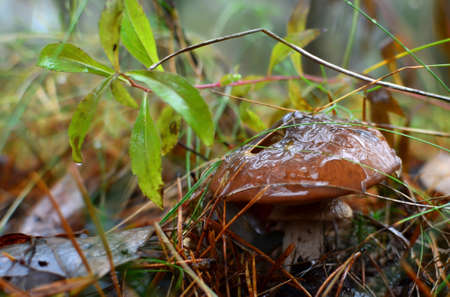 Edible gourmet mushroom under the designation of greasers. Forest moisture after rain on fallen autumn leaves on the ground in the forest. Human health 免版税图像