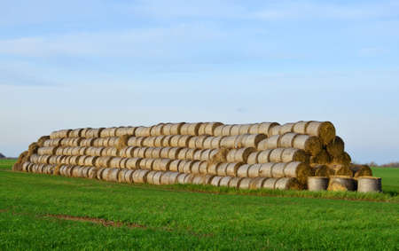 Hay in rolls on the field is stored in the open. Harvesting dry grass for agriculture or farmer. Ecological fuel in straw briquettes. Biofuel production from agricultural residues. Haystacks Stockfoto