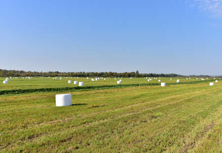 Hay in rolls in white packages stored on field on blue sky background. haystack and Harvesting dry grass for agriculture. Ecological fuel in straw briquettes. Biofuel production Stockfoto