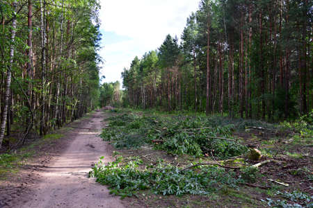 Large quantity of cut and stacked spruce timber in forest for transported. Stack of cut logs. Logging timber industry. Wood logs at illegal logging. Deforestation background