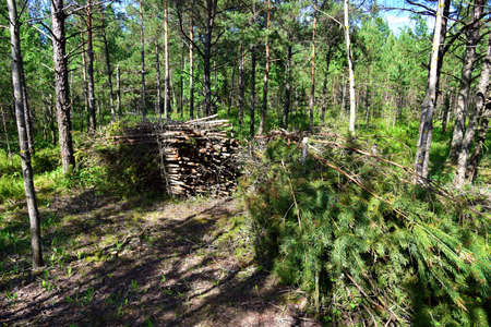 Large quantity of cut and stacked spruce timber in forest for transported. Stack of cut logs background. Logging timber industry. Wood logs at illegal logging Standard-Bild