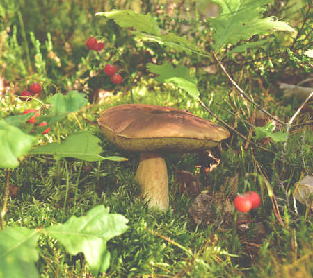 Big bolete mushrooms in wildlife in toned background. Porcini Cep White Mushroom grows in the grass in the forest among the red forest berries. Mushrooming harvesting season. 免版税图像