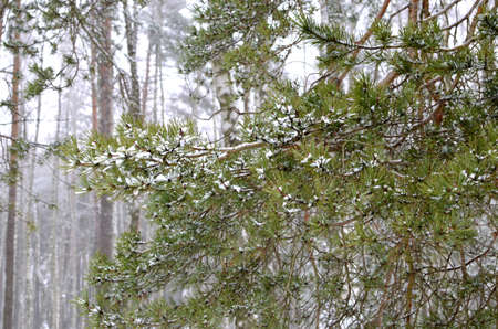 Snow covered pine branches with green needles in the forest. The concept of the onset of winter time and cold weather.