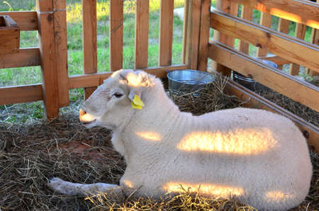 A sheep an enclosure eating hay on the farm. Australian Ram and sheeps. Concepts of Agriculture. Soft focus