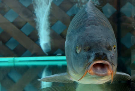 Big fish swims in an aquarium in a store or restaurant for cooking or eating. Common carp fish farming business concept. Aquaculture technology