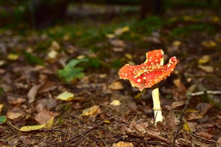 Red mushroom amanita toxic, also called panther cap. False blusher amanita mushroom in the forest against the background of green vegetation Standard-Bild