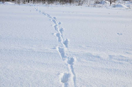 Traces of wild animals in the snow in the forest. Concept of the migration and mating in winter time. Deer or Elk Trail