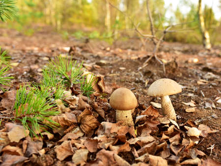 Group of the edible brown cap boletus among the grass and moss in autumn forest. Awesome fungus Aspen Mushroom against the background of green vegetation in of sunbeams. Birch bolete