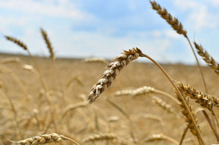 View of a field with ripe wheat with a golden hue in the sun. Summer harvest. Farm, production of flour, bread and bakery products. Agricultural landscape, growing crops, background, textures Standard-Bild