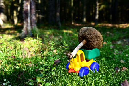 Funny toy truck transports a natural birch bolete mushroom in the forest against a background of green moss and trees. Children playing a game. Mushrooming harvesting season in wildlife