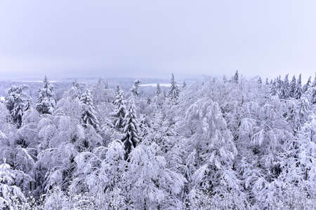 Spruce and pine trees in the snow. View from high mountains to the forest in snow-covered trees in winter. 免版税图像