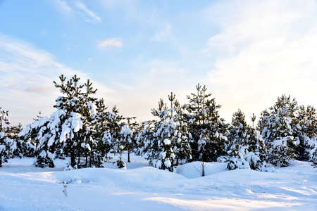 Pine and fir forest covered with snow after strong snowfall. Green pine trees in the snow in winter on background of sunset and blue sky. Awesome winter landscape. Snow-covered tree in the wild forest 免版税图像