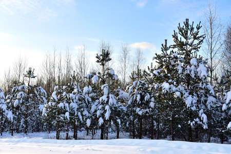 Pine and fir forest covered with snow after strong snowfall. Green pine trees in the snow in winter on the blue sky background. Awesome winter landscape. Snow-covered tree in the wild forest