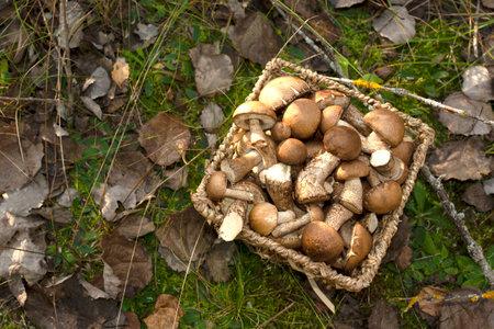 Birch bolete mushrooms in a wicker basket against a background of green grass in the forest. Awesome fungus aspen mushroom against the background of green vegetation. Edible brown cap boletus Standard-Bild