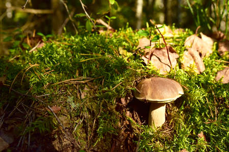 White mushroom in forest in autumn. Big boletus grows in the wildlife against the background of green moss. Porcini bolete mushrooms. Season for picked gourmet mushrooming.