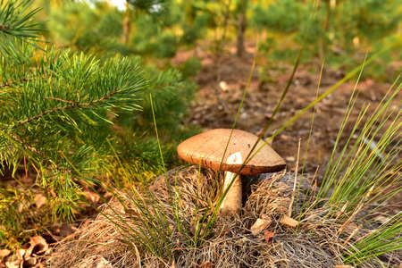 Edible brown cap boletus grows in the ground among fallen birch leaves in the fall season. Awesome fungus aspen mushroom in the forest in of sunbeams. Season for picked gourmet mushrooming