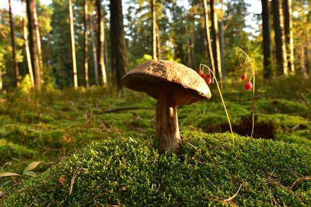 Porcini Cep White Mushroom King Boletus Pinophilus. Fungal Mycelium in moss in a forest. Big bolete mushrooms in wildlife in of sunbeams. Mushrooming harvesting season. Fungi plants