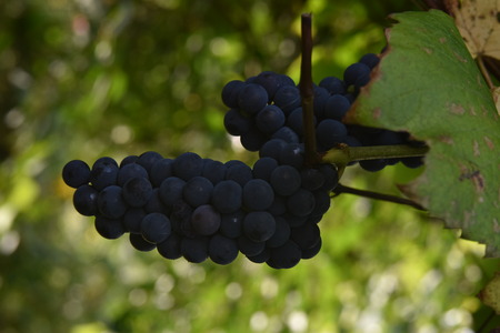 Grapes in vineyard, Isabella wine grapes. Closeup Stock Photo