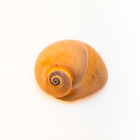 turbo: Turbo Marmoratus Shell