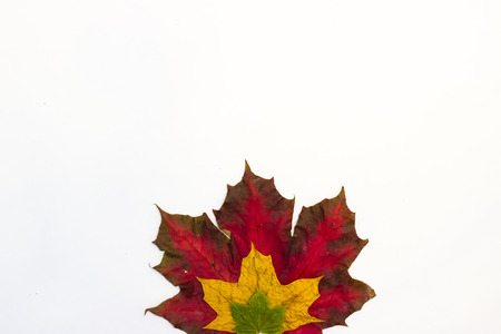 Maple leaves of different shapes and different colors on a white background