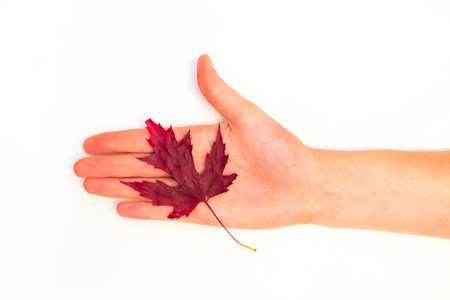 maple leaves in a female hand on a white background