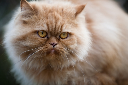 close up of a dissatisfied fluffy Persian cat