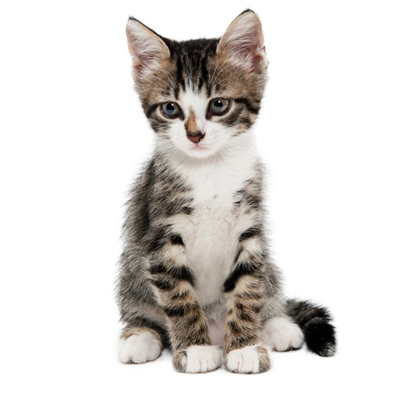 gray striped kitten with a sad grimace isolated white
