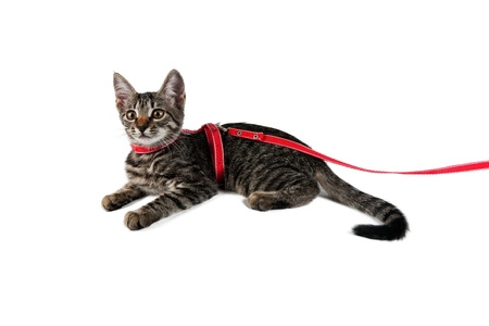 beautiful striped kitten on a leash isolated on white background  Stock Photo
