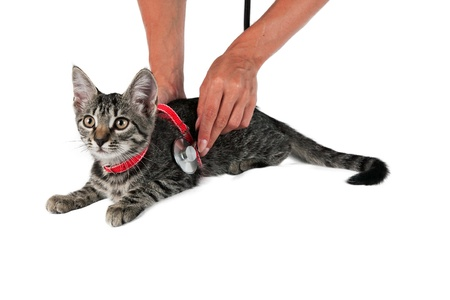 veterinarian examines a sick cat to the clinic isolated on white background  photo