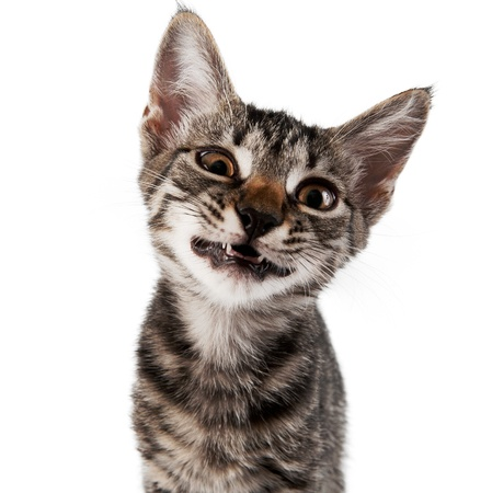 gray striped kitten with a displeasure grimace isolated white