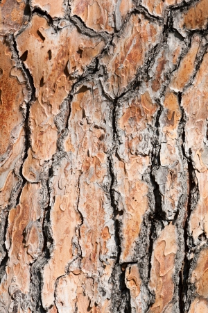 fondo de la textura de la corteza de pino viejo �rbol