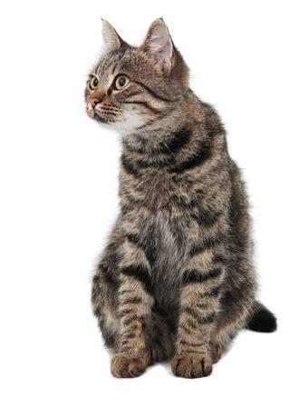 gato gris a rayas mirando hacia la izquierda aislado blanco Foto de archivo