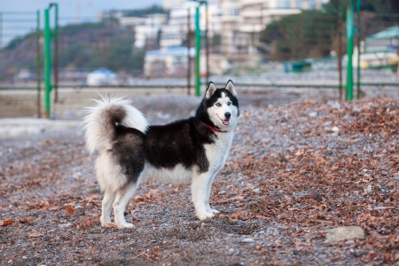 Portrait of Siberian Husky walking on the beach photo
