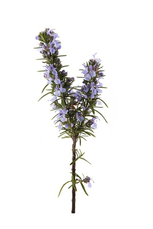 spring rosemary flowering branches isolated on white background