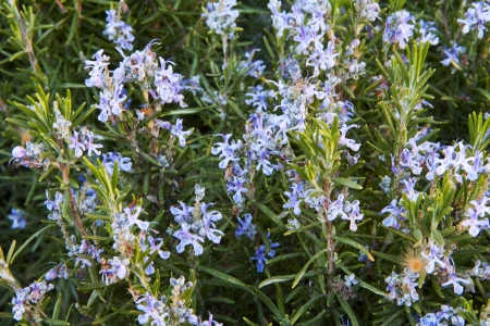 resorte romero ramos de flores en plena floraci�n Foto de archivo