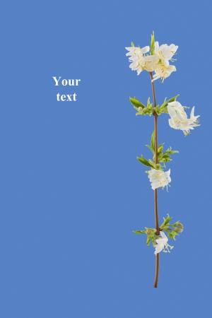 primavera, flores blancas de jazm�n en flor sobre fondo azul Foto de archivo
