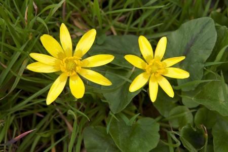 humedales silvestres flores amarillas florecen en primavera Foto de archivo