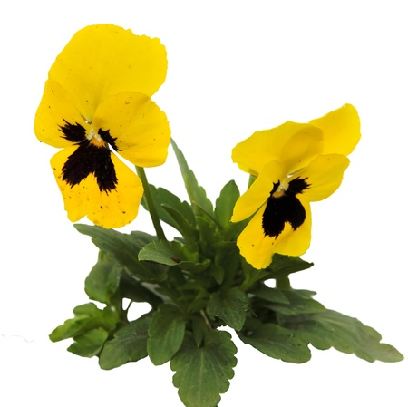 Close up of pansy flowers isolated on white background