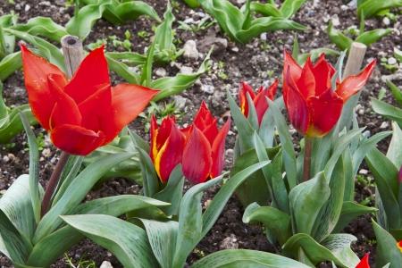 malva en flor flores del tulip�n en fondo verde Foto de archivo