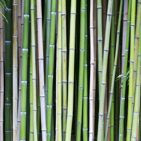 vibrant background of old bamboo tree wood photo