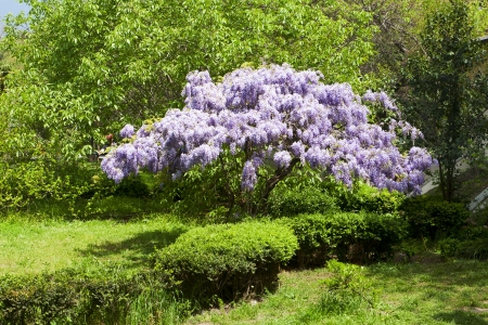 beautiful flowering wisteria tree in the park Stock Photo