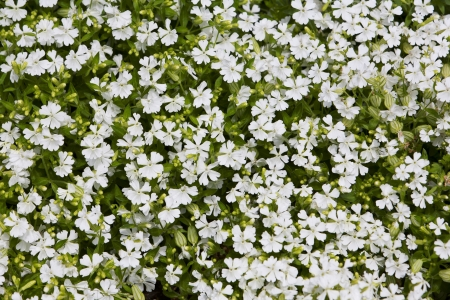 natural herbal background small white flowers on green lawn