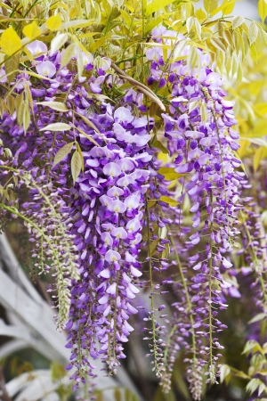 clusters of wisteria blossoms natural herbal background Stock Photo