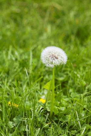 dandelion on green grass in the garden