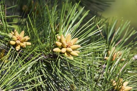 small bumps on Pine Needles Az background