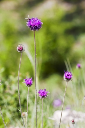 wild flowers of burdock in bloom close up photo