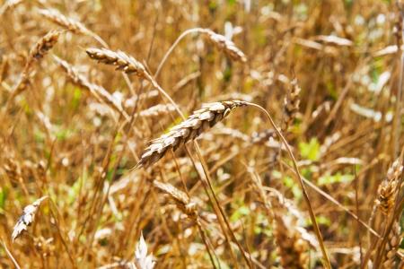 gold ears of ripe, natural vegetation background