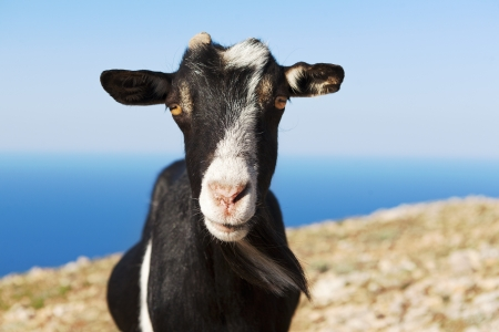 goat grazing on a rock against the sea
