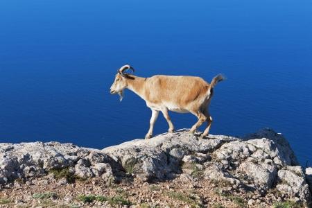pastoreo de cabras en una roca contra el mar