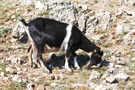 black and white goat grazing on a rock